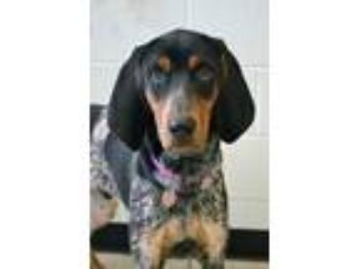 Adopt Troubadour a Bluetick Coonhound / Hound (Unknown Type) / Mixed dog in
