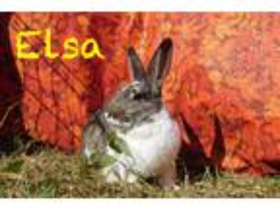Adopt Elsa a Agouti Other/Unknown / Mixed (medium coat) rabbit in Elizabethtown