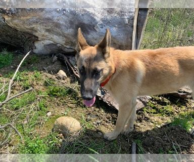 German Shepherd Dog-Huskimo Mix PUPPY FOR SALE ADN-131090 - HuskyGerman Shepherd