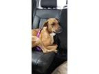 Adopt Nina a Tan/Yellow/Fawn - with White Rhodesian Ridgeback / Labrador
