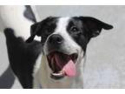 Adopt SPOTTY a Border Collie, Mixed Breed