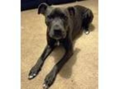 Adopt Sky- Courtesy Listing a Pit Bull Terrier, Cane Corso