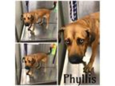 Adopt PHYLLIS a Brown/Chocolate - with Black German Shepherd Dog / Mixed dog in