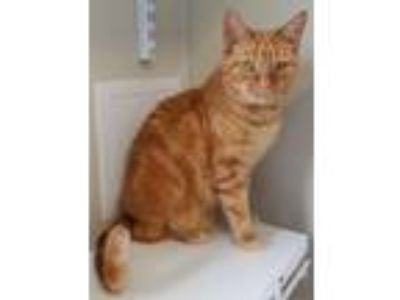Adopt Big John a Domestic Short Hair