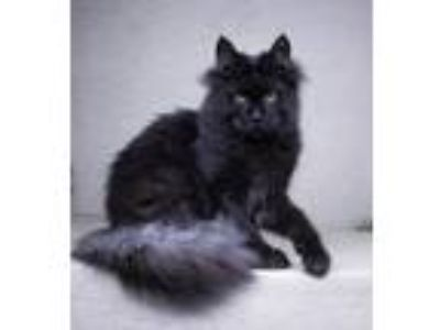 Adopt Ragnar a Black (Mostly) Maine Coon cat in Long Island City, NY (25273093)
