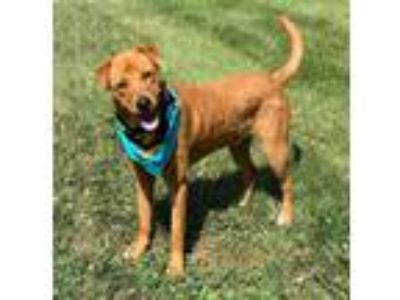 Adopt Nacho a Red/Golden/Orange/Chestnut Shar Pei / Labrador Retriever / Mixed