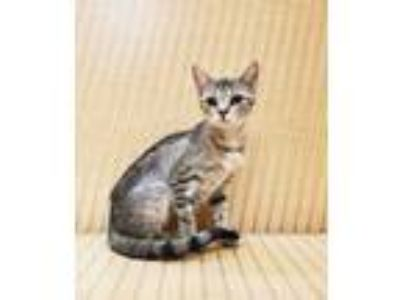 Adopt Gazelle a Brown or Chocolate Domestic Shorthair / Oriental / Mixed cat in