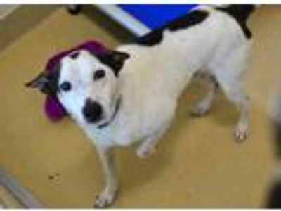 Adopt *CARSON a Black - with White Jack Russell Terrier / Mixed dog in Chapel