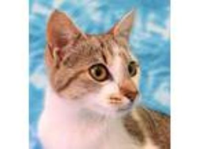 Adopt Orchard a Domestic Short Hair