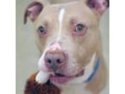 Adopt Caillou a Tan/Yellow/Fawn American Pit Bull Terrier / Mixed dog in