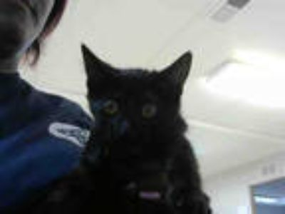 Adopt MISS KITTY a All Black Domestic Shorthair / Mixed (short coat) cat in