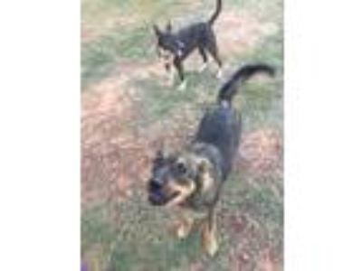 Adopt Yoshi a German Shepherd Dog