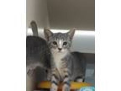 Adopt Daphne a Domestic Short Hair