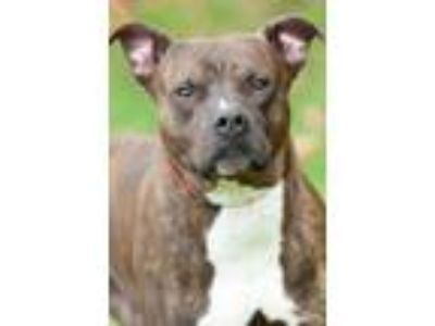 Adopt August a Pit Bull Terrier