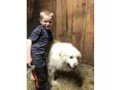 Adopt Ted a White Great Pyrenees / Mixed dog in Lee, MA (25265987)