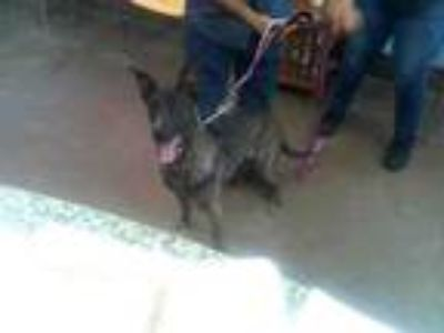 Adopt BELLA a Belgian Shepherd / Malinois, Mixed Breed
