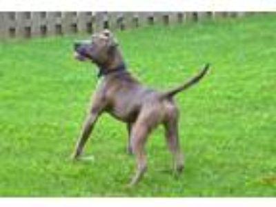 Adopt Kane a Pit Bull Terrier, Terrier