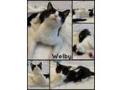 Adopt Welby a Domestic Short Hair