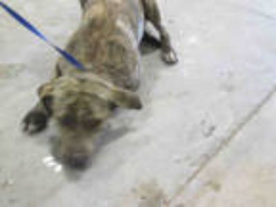 Adopt ROXY a Brindle - with White Labrador Retriever / Mixed dog in Winter