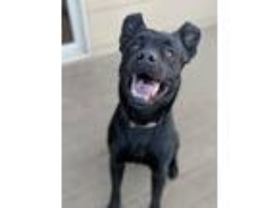 Adopt Chibbs a Black Shepherd (Unknown Type) / Labrador Retriever / Mixed dog in