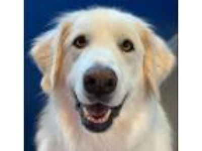 Adopt Finigan a Great Pyrenees