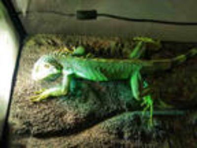 Adopt a Iguana / Mixed reptile, amphibian, and/or fish in Los Angeles