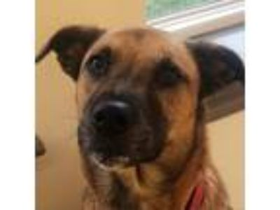 Adopt Honey a Brown/Chocolate Shepherd (Unknown Type) dog in Lynchburg