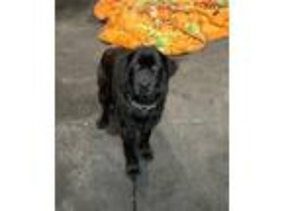 Adopt Reggie a Flat-Coated Retriever / Mixed dog in Poughkeepsie, NY (25418117)