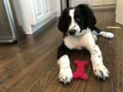 Adopt Ella a Black - with White Bernese Mountain Dog / Poodle (Standard) dog in