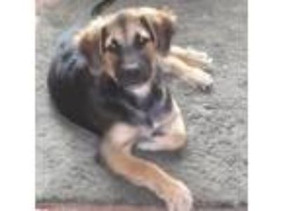 Adopt Allie a German Shepherd Dog, Labrador Retriever