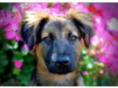 Adopt Chloe a German Shepherd Dog