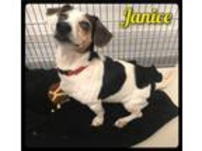 Adopt Janice - 1905165 / 2019 a White - with Black Dachshund / Beagle / Mixed