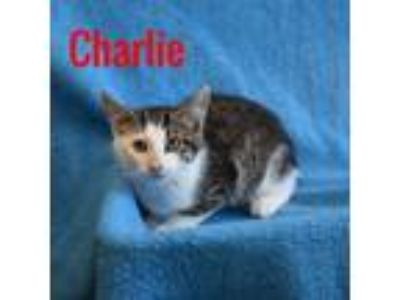 Adopt Charlie a Gray, Blue or Silver Tabby Domestic Shorthair (short coat) cat