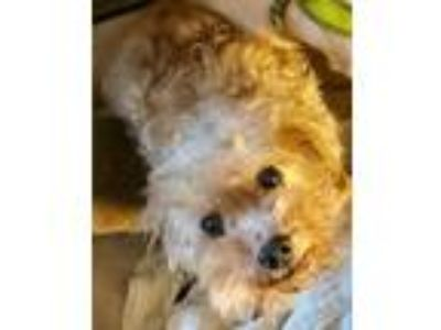 Adopt Lambchop - Foster Needed 6/19! a Poodle