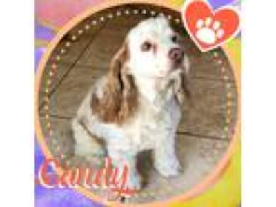 Adopt Candy a White - with Red, Golden, Orange or Chestnut Cocker Spaniel /