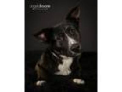 Adopt Leena a Black Labrador Retriever, Collie