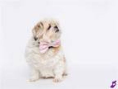 Adopt LUCY a White - with Tan, Yellow or Fawn Shih Tzu / Mixed dog in Murray