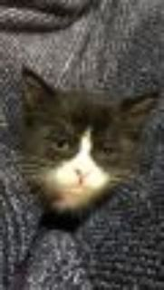 Benz Domestic Short Hair Cat