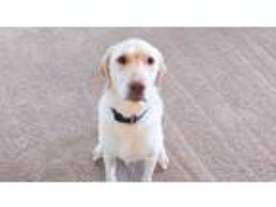 Adopt Charlie a Tan/Yellow/Fawn Labrador Retriever / Mixed dog in San Antonio