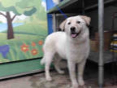 Adopt ARUBA a White - with Tan, Yellow or Fawn Australian Cattle Dog / Mixed dog