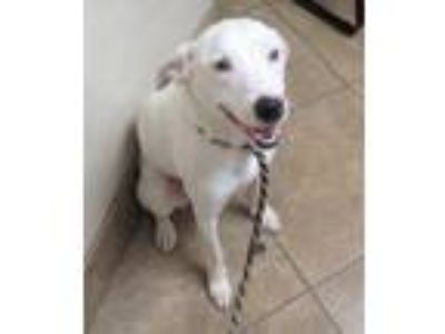 Adopt Sparky a White Labrador Retriever / Dalmatian / Mixed dog in