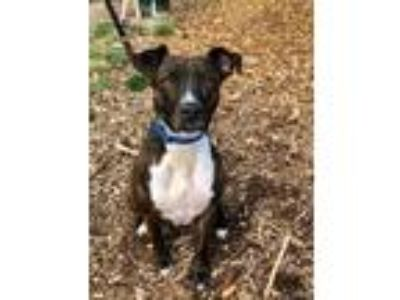 Adopt Lyra a Brindle - with White Pit Bull Terrier / Mixed dog in Seattle