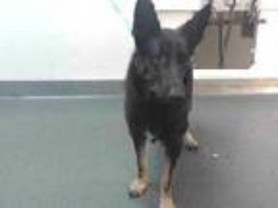 Adopt 19-23472 a German Shepherd Dog