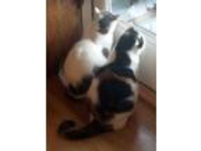 Adopt Alf & Patience a Domestic Short Hair, Calico
