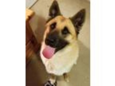 Adopt Bo a German Shepherd Dog