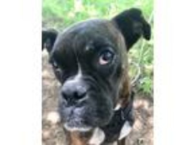Adopt Tinkerbell Durant a Brindle - with White Boxer dog in Allen, TX (25066368)