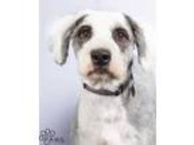 Adopt Rufus a Black Old English Sheepdog / Mixed dog in Tinley Park
