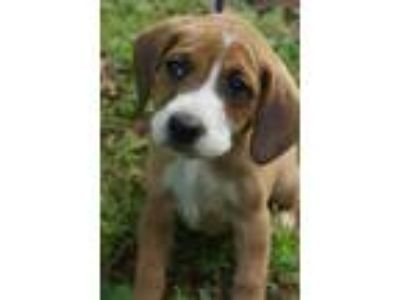 Adopt Gavin a Tan/Yellow/Fawn - with White Boxer / Beagle / Mixed dog in Newark