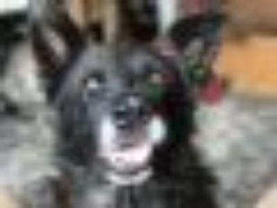 Ziggy German Shepherd Dog Dog