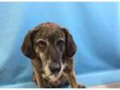 Adopt Rizzo a Brown/Chocolate Plott Hound / Mixed dog in St. Paul, MN (25454422)